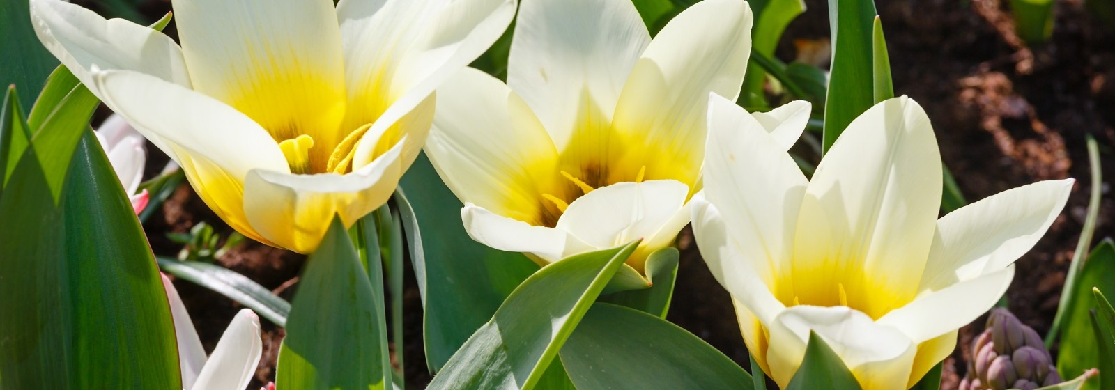 Beautiful three white-yellow tulips close-up (nature spring background).